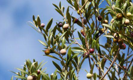 Première fête de l'olive